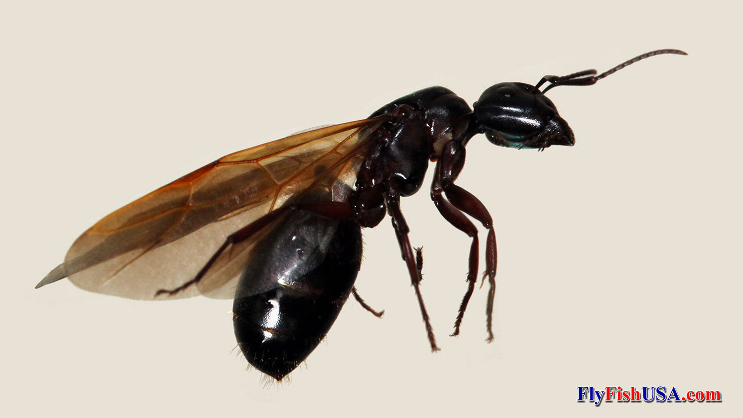 Pics of flying carpenter ants