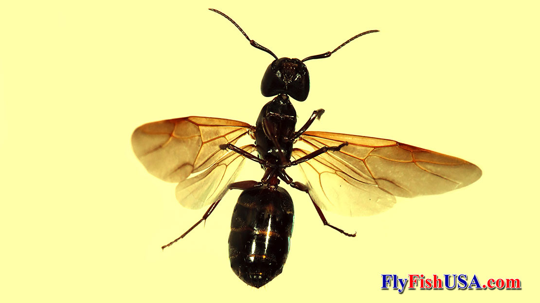 Winged Carpenter Ant Queen Fly