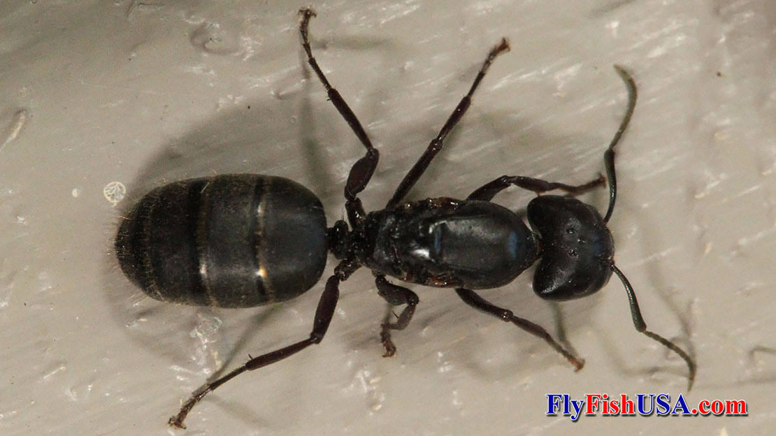 Picture of Carpenter Ant Queen after she has bit her wings off.
